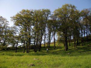 Oak Woodlands (Photo: Roberta Schwarz)