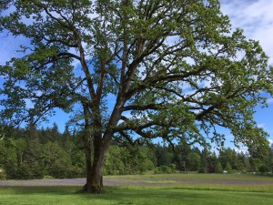 Oregon White Oak is a conservation priority in Oregon and for the Clackamas SWCD!