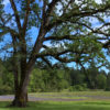 Oregon white oak is the only native oak species in British Columbia, Washington, and northern Oregon