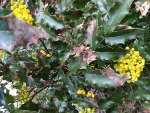Oregon grape is Oregon's state plant and supports our native birds and wildlife.