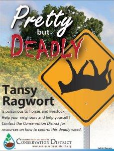 Pretty_but_Deadly-Tansy_Ragwort-web