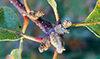 Quercus_garryana2_(304518647)