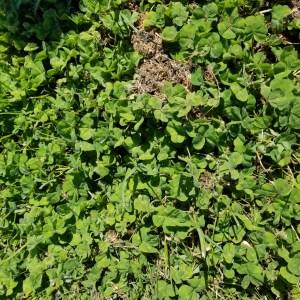 Subterranean Clover makes an excellent cover crop on this hazelnut farm.