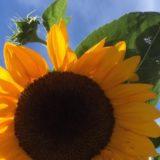 Sunflower 800x400