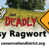 Tansy ragwort is deadly to livestock.