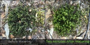 A moss lawn can help your soil retain water. Photo by Cathy Burk