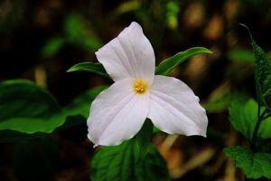 White-trillium-flower_-_Virginia_-_ForestWander