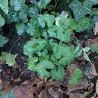 Garlic mustard herbicide treatment