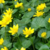 lesser celandine Sam Leininger feature photo