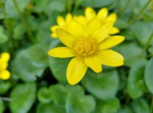 Lesser celandine flowers emerge in early spring.