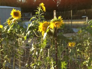 Sunflowers attract pollinators to your garden.