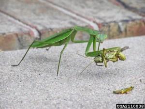 Photo credit to Chris Horne bugwood.com