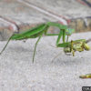Praying Mantis with a grasshopper lunch.  Chris Horne, bugwood.org