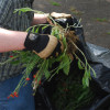 Hand Pulling Orange Hawkweed (Heiracium aurantiacum)