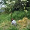 Giant Hogweed in flower