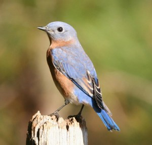 "The western bluebird is listed as a ""sensitive"" species in the northern Willamette Valley."