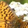 https://www.fws.gov/pollinators/images/Challenge/larger/Fritillary%20and%20Yarrow-TetlinNWR.jpg