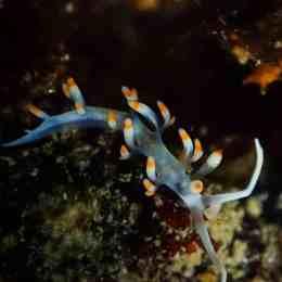 Flabellina bicolor