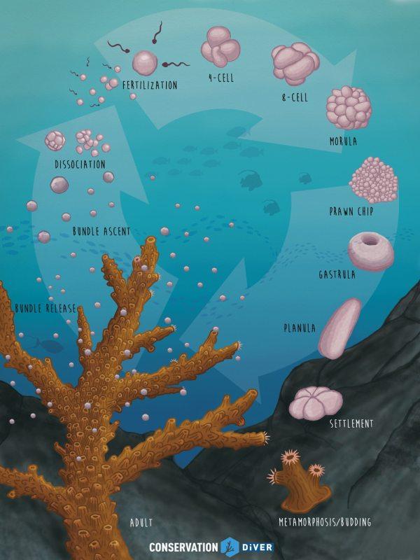 coral life cycle