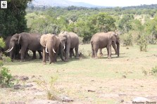African Elephant (Loxodonta africana africana) herd at the Oloisukut Conservancy