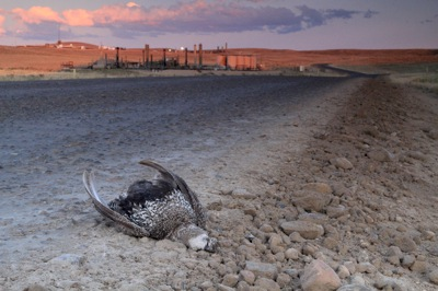 Road-killed sage-grosue in the Jonah Field natural gas development.  Sage-grouse were listed as candidate species for Endangered status, and the Jonah Field is part of its scientifically identified core habitat.