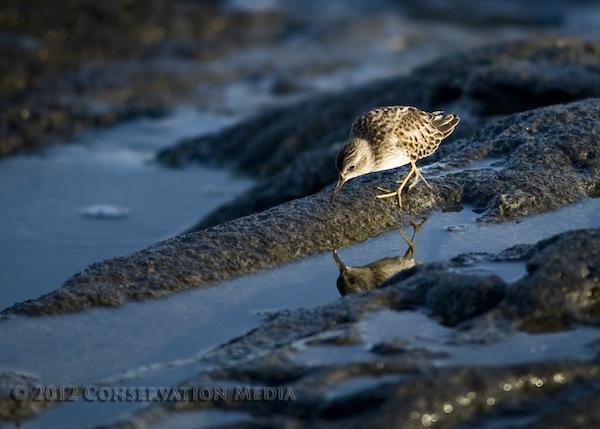 Purple Sandpiper, Conservation Media, Jeremy R. Roberts
