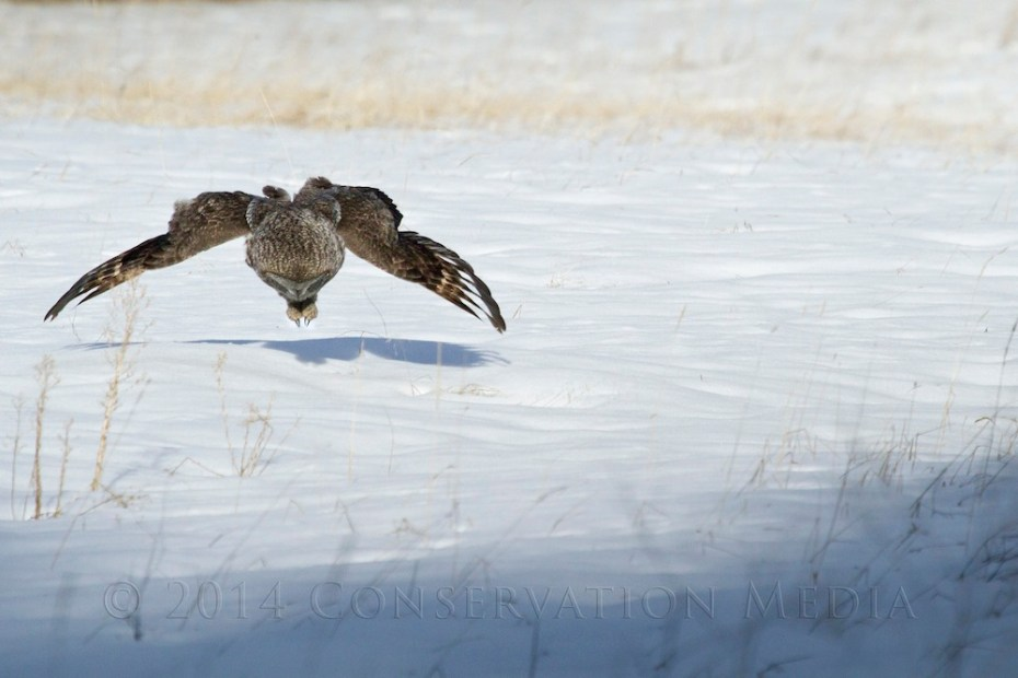 A great gray owl moments before striking an unsuspecting vole.