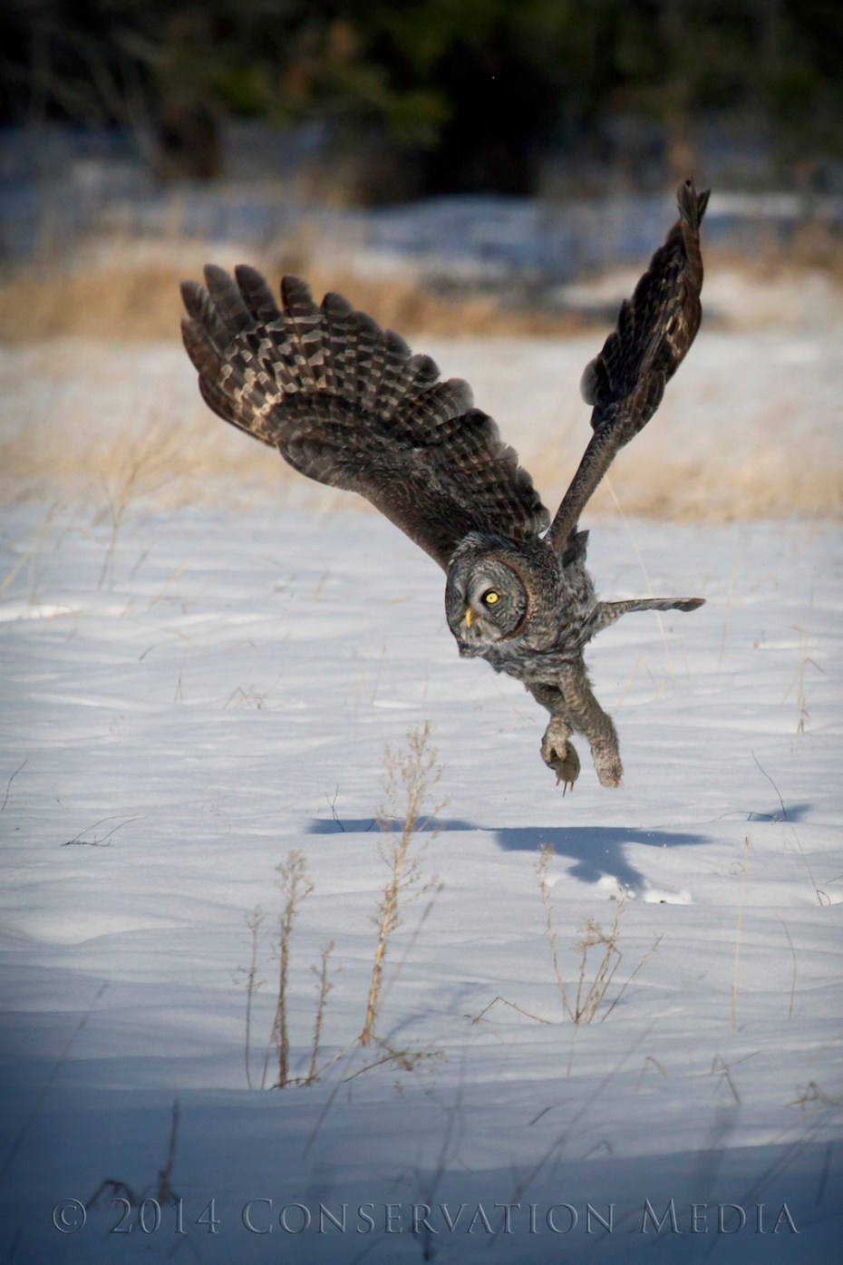 A great gray owl finds a vole under the snow.