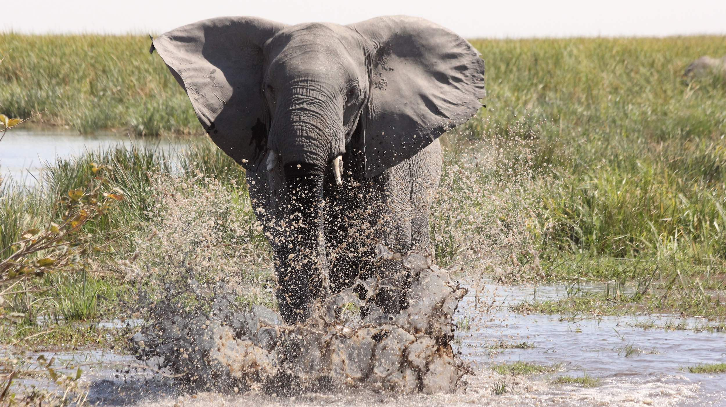 An elephant charges through a river towards the camera.