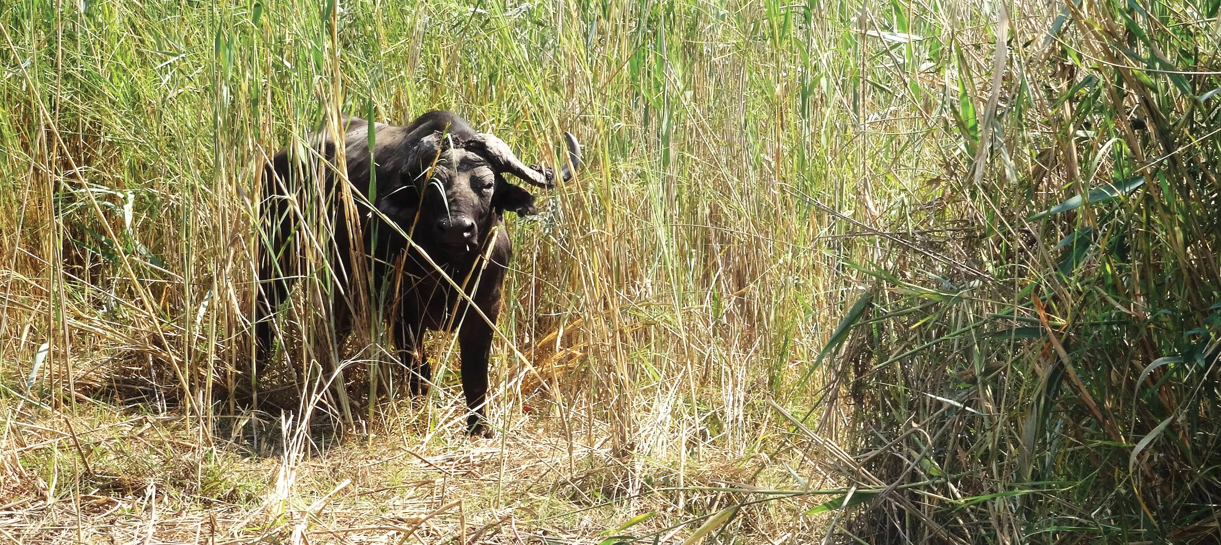 A large buffalo gazes out from concealment in thick reeds.