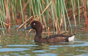 The Madagascan Pochard (Photo credit: Ken Behrens)