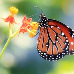 http://www.dreamstime.com/royalty-free-stock-photos-monarch-butterfly-image2625658