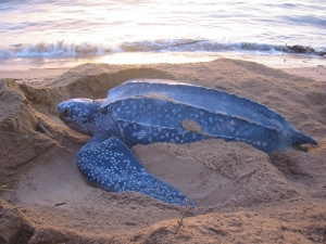 leatherback sea turtle food web diagram guitar wiring pickups information about turtles adult danielevansccc