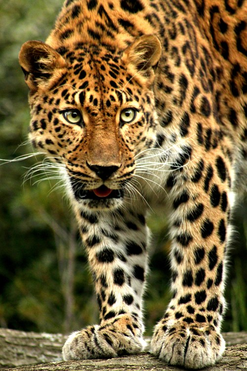 small resolution of amur leopard facts image