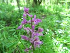 Early Purple Orchid. Private site nr. Wokingham, Berks. May 2014.