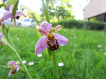 Bee orchid. Whiteknights Park, June 2014.