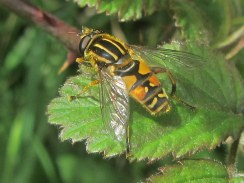 Helophilus pendulus, sometimes known as The Sunfly or The Footballer