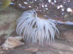 Snakelocks anemone - a very white form I'd not seen before