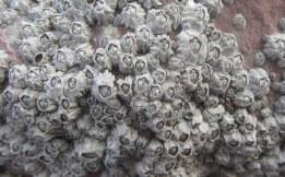 Montagu's stellate barnacle (Chthamalus montagui)