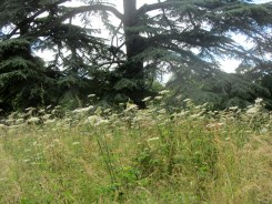 Hogweed jungle in Whiteknights Park, the University of Reading's main campus