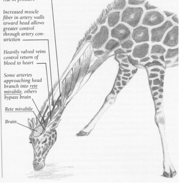Structure of giraffe showing what it takes for it to be able to take a drink