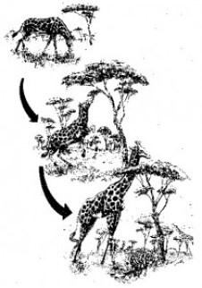 Darwin's evolution of giraffe