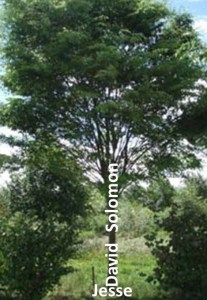 The image Isaiah used of the Dynasty as a tree