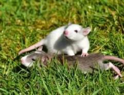 Sognare topi o sognare ratti: cosa significa? Interpretazione e numeri della smorfia
