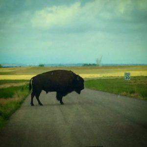 Rocky Mountain Arsenal- Buffalo in the road