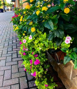 Blooms in Main Street in Carmel, Indiana