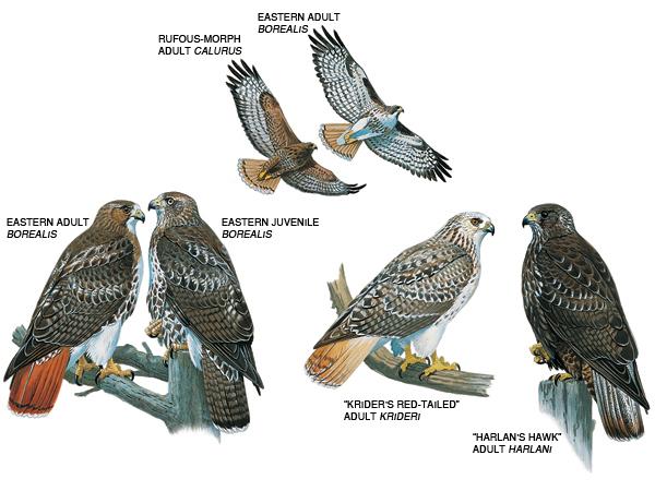 Redtail Hawks Return Cornell Lab of Ornithology Live