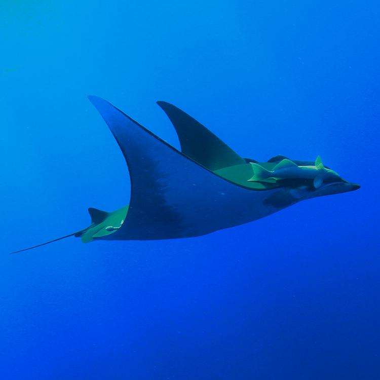chilean devil rays are