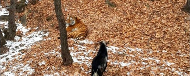 Amur the tiger with his new friend Timur the goat | Photo credit:  Safaripark25.ru