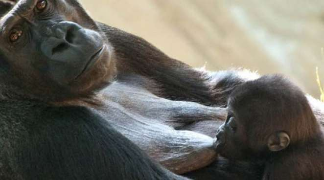 Gorilla breastfeeding its baby   Photo credits: koalakin.com